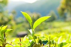 Tea leaves at a plantation Stock Photo