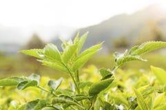 Tea leaves at a plantation Royalty Free Stock Image