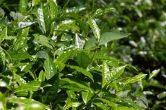 Tea leaves on  plantation. Coonor, Nilgiri, India, Tamil Nadu. Tea leaves on tea plantation. Outdoor. Coonor, Nilgiri, India Tamil Nadu Royalty Free Stock Photos