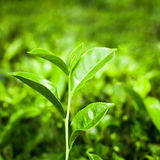 Tea leaves at plantation. India, Munnar Royalty Free Stock Photography