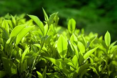 Tea leaves at plantation. India Munnar, Kerala Stock Photo