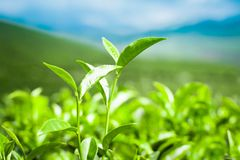 Tea leaves at plantation. India Munnar, Kerala Royalty Free Stock Photo