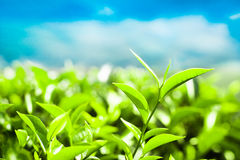 Tea leaves at plantation. India, Munnar Royalty Free Stock Photo
