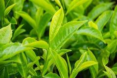 Tea leaves . Plantation Kenya , Africa. stock photography
