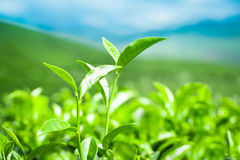 Tea leaves at plantation landscape Stock Photography