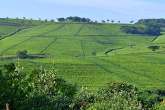 Tea leaves plantation South Africa Royalty Free Stock Photo