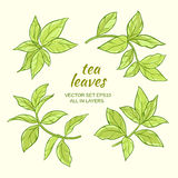 Tea leaves set. Illustration with green tea leaves on color background Royalty Free Stock Images