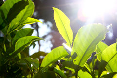 Tea Leaves with Sunlight Beam Royalty Free Stock Photo