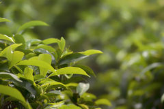 Tea leaves on tea plant. Closeup of green tea leaves on a tea plant.  Possible biological species: Camellia sinensis Royalty Free Stock Photos