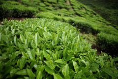 Tea leaves on tea plantation Stock Photo