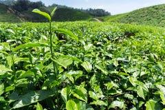 Tea leaves on tea plantation Royalty Free Stock Image