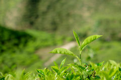 Tea leaves in tea plantations at Cameron Highlands Royalty Free Stock Image