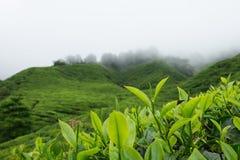 Tea leaves in tea plantations at Cameron Highlands, Malaysia. Royalty Free Stock Photo