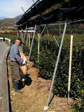 Tea man. The owner of the tea field doing some specific winter activities Stock Images