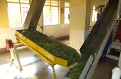 Tea manufacturing process, Munnar, Kerala, India. Munnar is famous for its tea Royalty Free Stock Photo