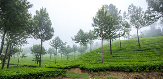 Tea misty valley. Growing in Southern India stock photos