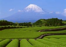 Tea mountain Stock Images