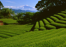 Tea mountain Stock Photography