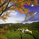Tea mountain and beautiful maple Royalty Free Stock Photo
