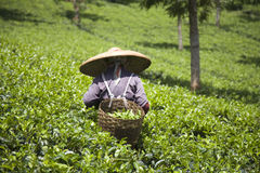 Tea  picker Royalty Free Stock Image