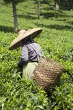 Tea  picker Royalty Free Stock Photography