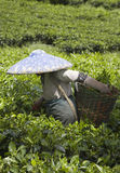 Tea  picker Stock Photography