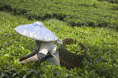 Tea  picker Royalty Free Stock Photos