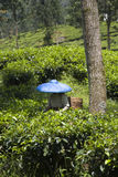 Tea  picker Royalty Free Stock Images