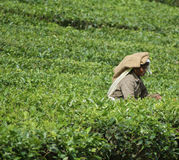 Tea picker Stock Photos