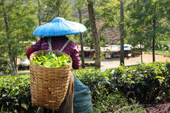 Tea picker. After work at puncak indonesia Stock Images