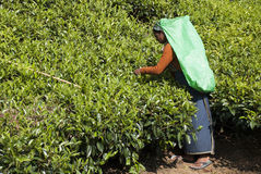 Tea Picker. Kandy, Sri Lanka- March 05, 2012: Woman harvesting tea leaves Stock Photography