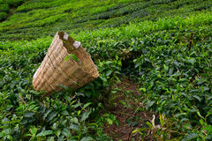 Tea picker bag with fresh leaf over a bush. On tea plantation at Cameron Highlands, Malaysia Stock Image