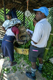 A tea picker empties her morning harvest of leaves near Adams Peak in Sri Lanka. Stock Photos