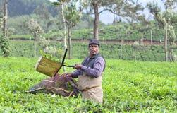 Tea picker in kerala, India. MUNNAR, INDIA - NOVEMBER 14, 2016: Tea picker man working in tea plantation in Munnar, Kerala, South India. Only uppermost leaves royalty free stock photo