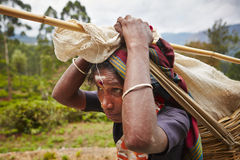 Tea picker Stock Image