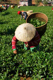 Tea picker pick leaf on agricultural plantation Royalty Free Stock Photo