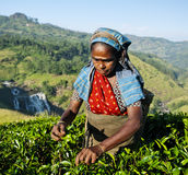 Tea Picker Picks Leaves Agriculture Concept. Old Sri Lankan lady harvesting tea Royalty Free Stock Photography