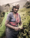 Tea Picker Picks Leaves As She Looks At The Camera Royalty Free Stock Image