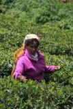 The tea picker stock photos
