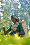 Tea picker portrait Stock Photo