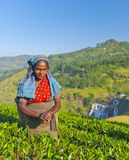 Tea Picker Smirks As She Picks Leaves Royalty Free Stock Photography