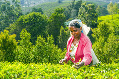 Tea picker at a tea plantation in the highlands of Sri Lanka Stock Image