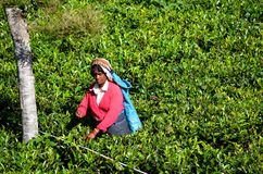 Tea picker, at tea plantations, Sri Lanka Royalty Free Stock Photos
