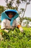 Tea picker. Woman picking tea leaves at Wonosari tea plantation in Indonesia stock image