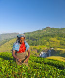 Tea Picker Woman Picks Leaves Royalty Free Stock Image