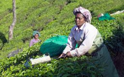 Tea picker working in tea plantation in Munnar, Kerala, South In. MUNNAR, INDIA - JANUARY 18, 2016: Female tea picker working in tea plantation in Munnar, Kerala Royalty Free Stock Images