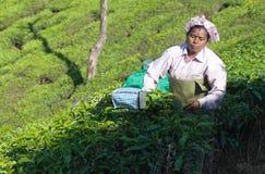 Tea picker working in tea plantation in Kerala, India Stock Image