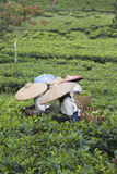 Tea pickers Stock Images