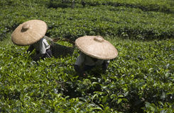 Tea pickers Royalty Free Stock Images