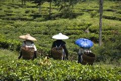 Tea pickers Stock Photo